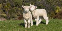 Lambing begins at Bleasdale in Lancashire