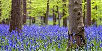 Beautiful bluebell woods to see