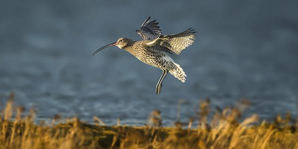 Eurasian curlew bird flying next to the sea