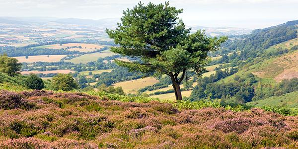 Quantock Hills lone tree on the hill