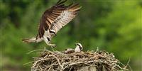 The Rutland Osprey Project