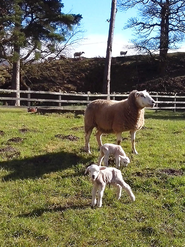 Sheep and lambs near our glamping sites