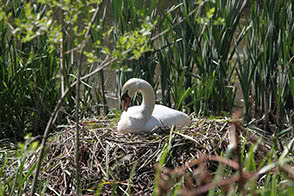 Swan in its nest - thumbnail