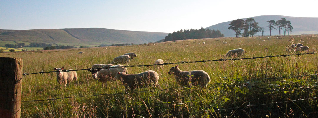 The local sheep can't wait to meet you when you visit our Bleasdale, Lanchsire glamping site
