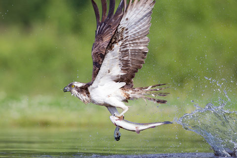 Ospreys at Rutland water catching dinner