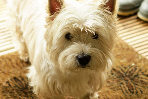 A highland terrier enjoying his glamping experience